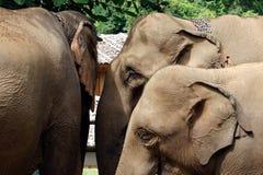 Olifanten Aziaat Royalty-vrije Stock Afbeelding