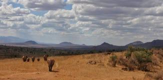 Olifanten bij Afrikaanse savanne van Tsavo-het Westen nationaal park Kenia Afrika Royalty-vrije Stock Foto's