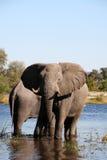 Olifanten bij een waterhole Stock Foto's
