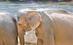 Olifanten bij Pinnawala-Olifantsweeshuis, Sri Lanka Royalty-vrije Stock Fotografie