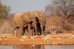 Olifanten bij waterhole, Etosha Stock Foto's