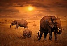 Olifanten bij Zonsondergangachtergrond stock foto's