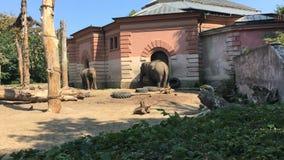 Olifanten in de DIERENTUIN Een olifant giet zand op zich stock videobeelden