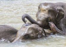 Olifanten in de rivier Maha Oya bij pinnawala Stock Afbeeldingen