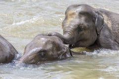 Olifanten in de rivier Maha Oya bij pinnawala Stock Foto's