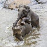 Olifanten in de rivier Maha Oya bij pinnawala Stock Afbeelding