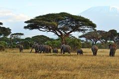 Olifanten in de savanne Stock Afbeelding