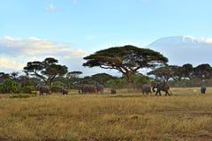 Olifanten in de savanne Stock Fotografie