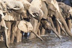 Olifanten in de savanne van het nationale park van Etosha Stock Fotografie
