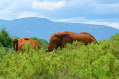 Olifanten in de wildernis Royalty-vrije Stock Foto's