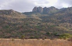 Olifanten die bij Afrikaanse savanne weiden Royalty-vrije Stock Afbeelding