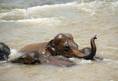 Olifanten die een Bad nemen Stock Foto's