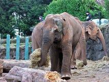 Olifanten die in een dierentuin in Ierland eten Stock Foto
