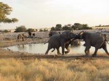 Olifanten die in Etosha jousting royalty-vrije stock foto