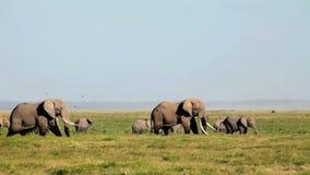 Olifanten die gras in Amboseli-Park eten