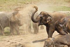 Olifanten die in het stof spelen. Stock Foto's