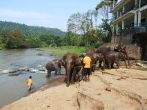 Olifanten die in Pinnawala baden Royalty-vrije Stock Foto's
