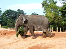Olifanten die in Pinnawala voeden Stock Foto