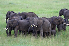 Olifanten die van de lucht worden gefotografeerd Stock Fotografie