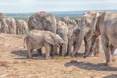 Olifanten die verse mest eten stock foto