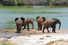 Olifanten door de Rivier Stock Afbeelding