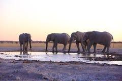 Olifanten drinkwater na zonsondergang Stock Afbeeldingen