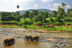 Olifanten in een rivier, Sri Lanka stock foto's