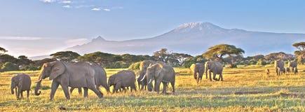 Olifanten en Kilimanjaro in Amboseli Royalty-vrije Stock Foto