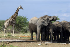 Olifanten in Etosha Nationalpark, Namibië Stock Afbeeldingen
