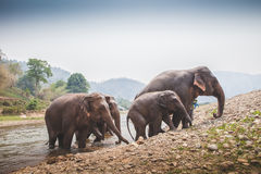 4 olifanten gaan de rivier weg Stock Afbeelding