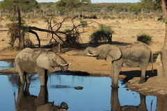 Olifanten het drinken Royalty-vrije Stock Afbeelding