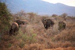 Olifanten in het heiligdom van de Rinoceros Ngulia Stock Foto