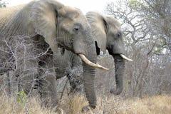 Olifanten, het Nationale Park van Kruger Stock Afbeelding
