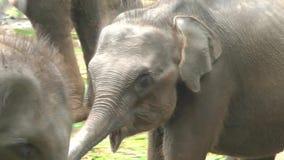 Olifanten in het Nationale Park van Udawalawe stock footage