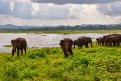 Olifanten in het Nationale Park van Udawalawe op Sri Lanka royalty-vrije stock fotografie