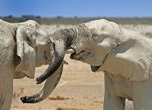 2 olifanten het spelen Stock Afbeeldingen