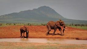 Olifanten het spelen en drinkwater stock afbeelding