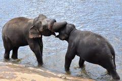 olifanten het vechten Royalty-vrije Stock Afbeelding