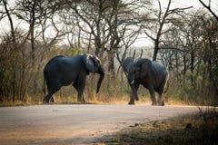 olifanten het vechten Stock Afbeeldingen