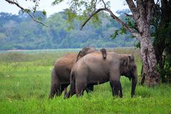 Olifanten in liefde, Srí Lanka Royalty-vrije Stock Foto