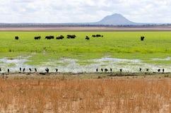 Olifanten in Moeras Royalty-vrije Stock Afbeeldingen
