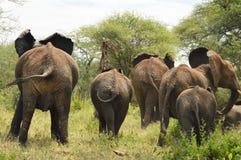 Olifanten op de looppas Royalty-vrije Stock Afbeelding