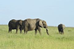 3 olifanten op de savanne Stock Fotografie