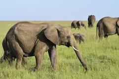 Olifanten op de savanne Stock Afbeelding
