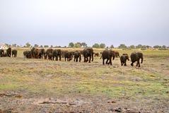 Olifanten op een eiland in de Chobe-Rivier Royalty-vrije Stock Foto's