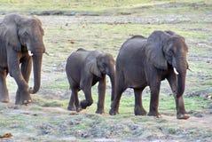 Olifanten op een eiland in de Chobe-Rivier Stock Foto's