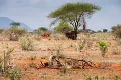 Olifanten in Tsavo-het westen nationaal park worden gezien in Kenia dat De Safari van Kenia royalty-vrije stock foto