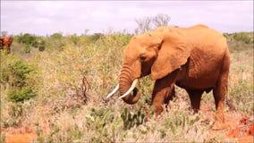Olifanten in Tsavo-Oost-Kenia stock videobeelden