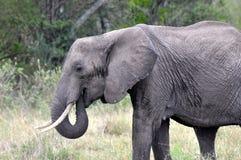 Olifanten van Masai Mara 1 Stock Afbeelding