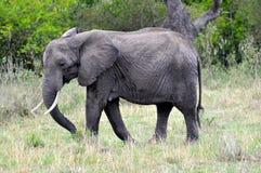 Olifanten van Masai Mara 2 Royalty-vrije Stock Fotografie